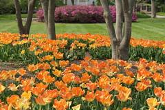 Sherwood Gardens ~ orange, green & pink (karma (Karen)) Tags: flowers gardens azaleas tulips maryland baltimore brightcolors bushes sherwoodgardens 4spring cmwdorange