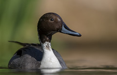 Pintail (Anas acuta). (dave.mcculley) Tags: water duck pov low anus pintail acuta
