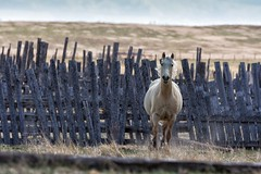 I can't think of a title (Tracey Rennie) Tags: horse fence