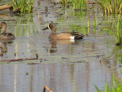 Blue-winged Teal by SpeedyJR (SpeedyJR) Tags: cowlesbogduneacresin 2016janicerodriguez bluewingedteal teals birds wildlife nature cowlesbog duneacresindiana indiana speedyjr