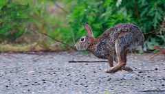 Panning with Rabbit 5_24 1 (krisinct- Thanks for 12 Million views!) Tags: canon mark ii 7d 500 f4