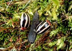 Male and Female Beetles (Disonycha sp.?) on Cord Moss (Brenda Dobbs) Tags: insect moss beetle striped arthropoda arthropod coleoptera hexapod insecta hexapoda cordmoss