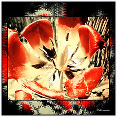 Red Tulip (Stephenie DeKouadio) Tags: red plant flower color colour macro art beautiful beauty canon photography spring colorful image outdoor tulip lovely imagery redandwhite macrophotography spherize
