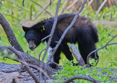 Black Bear, Yosemite National Park (Mastery of Maps) Tags: california bear park ca green nature outdoors nationalpark spring natural yosemite yosemitenationalpark naturalbeauty sierranevada blackbear yosemitevalley usnationalpark yosemitevillage 2016