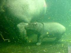 Champ (BrigitteE1) Tags: baby animal animals germany de geotagged europe underwater hippo hanover champ babyhippo nilpferd babyanimal unterwasser hippopotamusamphibius specanimal fluspferd erlebniszoohannover