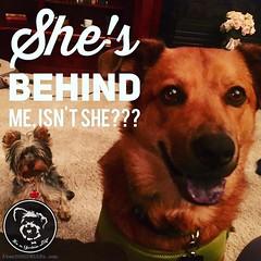 Yes, she is. (itsayorkielife) Tags: instagram itsayorkielife yorkie yorkshireterrier