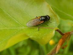 DSCN6235 (Frank Berbers) Tags: macro insect hoverfly limburg syrphidae diptera zuidlimburg schwebfliege cheilosia zweefvlieg tweevleugeligen syrphides cheilosiaalbitarsis gewoonweidegitje nikoncoolpixs9500