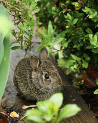 Baby bunny (@harryshuldman) Tags: baby macro rabbit bunny green leave nature canon leaf hare bokeh 100mm 7d markii leporidae