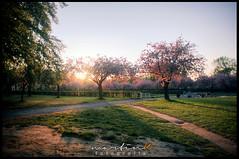Kirschblüten (Krueger_Martin) Tags: pink light sun berlin nature licht sonnenuntergang sundown natur rosa wideangle olympus 24mm sonne zuiko weitwinkel kirschblüten marienfelde photomatix canoneos5dmarkii lilienthalpark olympuszuiko24mmf28 canoneos5dmark2 fliegeberg
