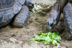 Ouwehands Zoo (Mysecrethistory) Tags: animals canon zoo turtle tortoise galapagos turtles animalkingdom rhenen ouwehands zoolife ouwehandsdierenpark galapagostortoise galapagosgianttortoise ouwehand canonphotography ouwehandszoo