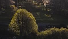 le soleil effleure le printemps naissant (mrieffly) Tags: leverdesoleil tilleul canoneos50d geishouse vosgesalsace moisdemai 100400issriel