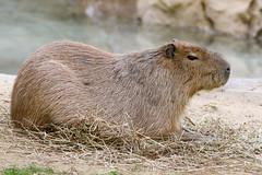 234A2993-Edit.jpg (Mark Dumont) Tags: animals mammal zoo rodent mark cincinnati dumont capybara