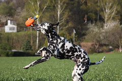 Fang! (blumenbiene) Tags: dog white playing black game dogs female walking fun meadow wiese hund schwarz dalmatian hunde spaziergang spielen dalmatiner weis hndin