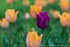 Tulips (Dolores Harvey) Tags: flowers nature newfoundland spring dof tulips tulip d800 purpletulip signofspring yellowtulips newfoundlandandlabrador newfoundlandlabrador doloresharvey canvassingtheneighbourhood canvassingtheneighbourhoodcom canvassingtheneighbourhoodphotography deloresharvey