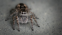 saltique (Matthieu Suc) Tags: macro spider araignee 105mm saltique d7100