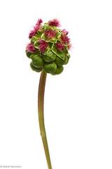 Wiesenblume 3A (rainerneumann831) Tags: natur pflanze blume blte knospe wiesenblume