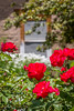 B36C6412 (WolfeMcKeel) Tags: park new city roses vacation flower nature rose gardens garden mexico botanical spring high flora downtown desert landscaping albuquerque flowering 2016