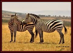 COMMON ZEBRA (Equus burchelli).....MASAI MARA......SEPT 2015 (M Z Malik) Tags: africa nikon kenya wildlife ngc safari npc kws zebras masaimara d3x exoticafricanwildlife 200400mm14afs