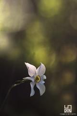 COLPITO (Lace1952) Tags: primavera bokeh fiore luce narciso bolle sfocato sottobosco narcisoselvatico nikond7100 trioplan135mm