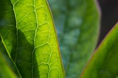 Venation (Pittypomm) Tags: leaves leaf peony justleaves macromondays