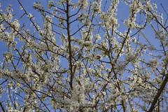 Appletree in bloom (mightymightymatze) Tags: france apple frankreich blossom alsace blte apfel vosges elsass appletree apfelbaum inbloom vogesen