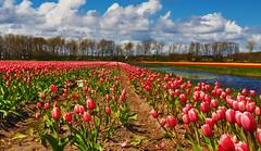 Tulips and colors (syssy70) Tags: flowers holiday holland colors tulips netherland fields fiori paysage paesaggio olanda flo vacanze landascape campi colorati lisse tulipani