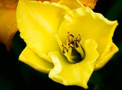 Beauty in the Eye (jhambright52) Tags: macroflowers yellowmacroflower