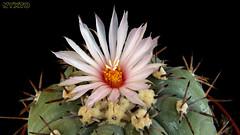 Echinocactus horizonthalonius v. moelleri 2 (Nyxtofulakas) Tags: cactus nature succulent v cactaceae echinocactus spines horizonthalonius moelleri