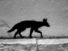 Renard des villes (liberthyvi) Tags: street monochrome animal arts tags renard