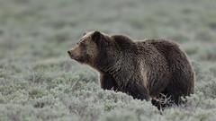 Flower power (Hammerchewer) Tags: bear outdoor wildlife yellowstone sow grizzlybear