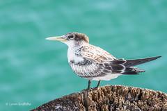 Crested Tern 710_7864.jpg (Mobile Lynn) Tags: wild bird nature birds fauna wildlife australia coastal queensland fraserisland terns charadriiformes seaswallow crestedtern thalasseusbergii marshterns