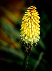 Kniphofia (jhambright52) Tags: macroflowers kniphofia doublefantasy torchlily hotpoker