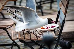 Naurulokki / Black-headed Gull (Tuomo Lindfors) Tags: food bird suomi finland gull clarity dxo tori kuopio ruoka marketsquare blackheadedgull lintu naurulokki lokki topazlabs filmpack