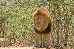 Male Lion (Johann (Sasolburg, RSA)) Tags: ngc lion krugernationalpark knp panthera lowersabie leeu ondersabie 7dwf knph41
