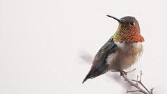 the watcher (apg_lucky13) Tags: ca bird nature animal canon outdoors eos branch hummingbird image wildlife rufus ff humming ef jdc 6d selasphorusrufus selasphorus canonef70200mmf4l manwithcamera kenkotelepluspro300dg14x jasdaco