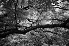 Arboretum (F. Neil S.) Tags: tree monochrome leaves blackwhite moss sony filter lichen limbs blancetnoir cokerarboretum 850nm emount neewer nex6 fullspectrumconversion