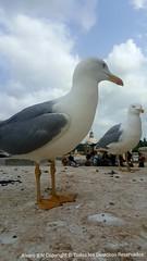 #gaviota  #mar (alvaroberlanasnogueira) Tags: mar gaviota