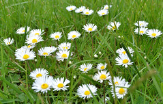 a host of daisies (conall..) Tags: daisy daisies grass florwes
