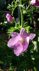 #365_muskmallow (terri_bateman) Tags: flower mallow musk 365photo