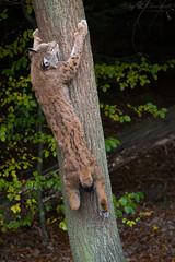 Climbing up a tree (Cloudtail the Snow Leopard) Tags: animal cat mammal climb feline katze lynx tier pforzheim klettern wildpark luchs sugetier