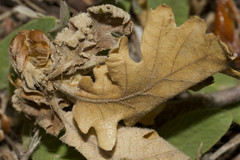 Decay (flurryofsmoke) Tags: leaves decay rotting brown oak macro nature provence