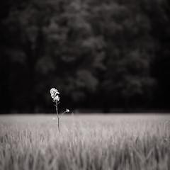 Rapeseed (Willem Eelsing) Tags: blackandwhite bw flower square landscape nederland serene rapeseed gelderland
