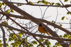 Baltimore Oriole (A Great Capture) Tags: orange toronto ontario canada black tree green bird nature animal spring branch photographer baltimore canadian perch rest perched springtime oriole on agc 2016 ash2276 adjm wwwagreatcapturecom agreatcapture