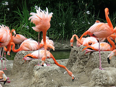 Flamingos Prepare to Egg Sit (Bennilover) Tags: california birds babies sitting flamingos mothers dirt eggs sandiegozoo exhibits mounds zoos nesting nests flamingonests