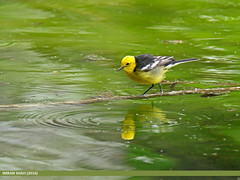 Citrine Wagtail (Motacilla citreola) (gilgit2) Tags: pakistan birds fauna canon geotagged wings wildlife feathers tags location species tamron category avifauna gilgit naltar motacillacitreola gilgitbaltistan imranshah canoneos7dmarkii citrinewagtailmotacillacitreola tamronsp150600mmf563divcusd gilgit2