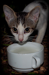 The cat and the milk. (CWhatPhotos) Tags: pictures wild pet cats holiday hot water animal june digital cat that island four photography hotel feline holidays foto image artistic time pics cuba pussy pic olympus images have tryp photographs coco photograph fotos l cuban which contain cayo hols 2016 pussys hirds hoteltryp hoteltrypcayococo cwhatphotos