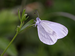 Wood White (chaz jackson) Tags: white macro butterfly insect pieridae woodwhite leptideasinapis