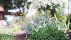 flowers in the garden (SS) Tags: italy flower garden spring pentax bokeh lazio k5 2016 flowersinthegarden ss kepcorautowideanglemc28mm128