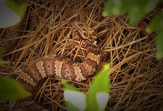 Copperhead with Mouth Open (Trish Overton) Tags: snake snakes copperhead pitviper