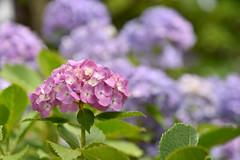 Hydrangea :  (naitokz) Tags: pink plant flower japan purple blossom outdoor depthoffield hydrangea yokohama           americayamapark